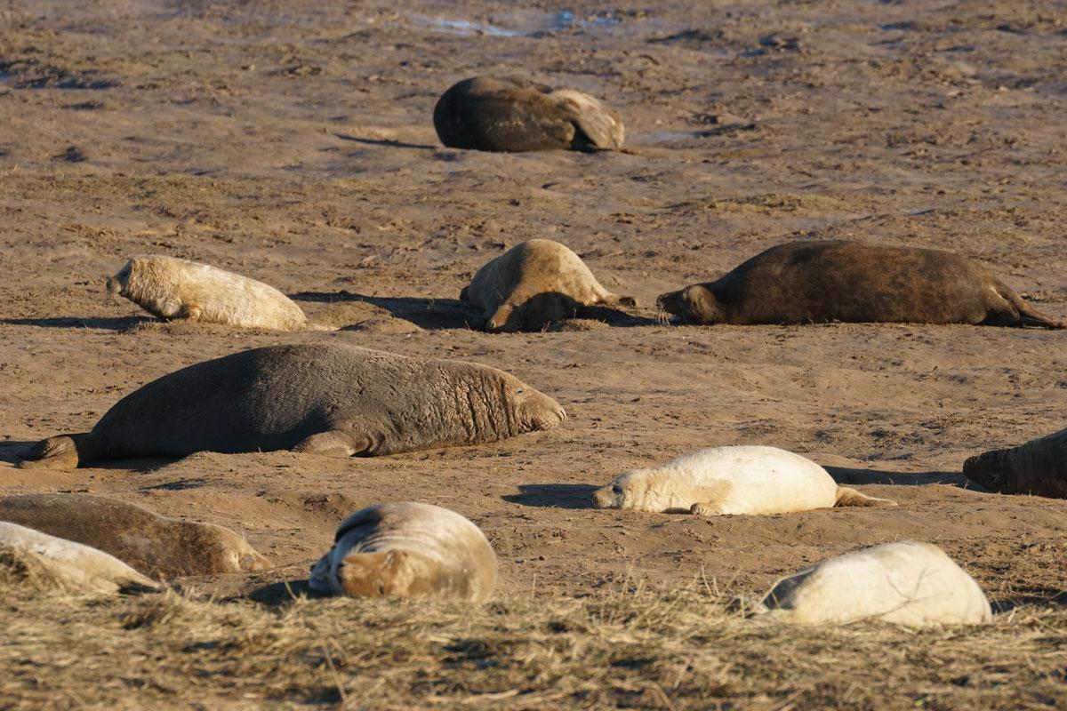 Seal Pups born at Donna Nook